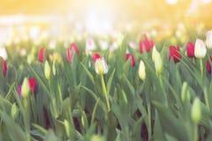 Tulipas bonitas borradas que florescem no jardim da mola Foto de Stock Royalty Free