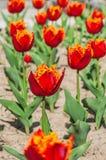 Tulipas bonitas da flor Foto de Stock