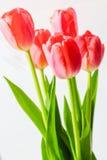 Tulipas bonitas das flores Fotos de Stock