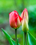 Tulipas bonitas que crescem no campo Imagem de Stock Royalty Free