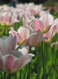 Tulipas brancas com acentos cor-de-rosa, teias de aranha fotografia de stock royalty free