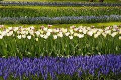 Tulipas brancas com os jacintos azuis no jardim. Imagem de Stock