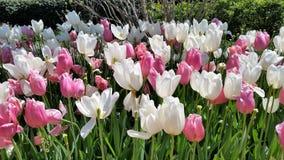Tulipas brancas e cor-de-rosa bonitas no jardim Foto de Stock