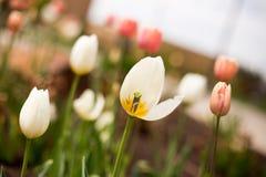Tulipas brancas e cor-de-rosa na mola Fotos de Stock