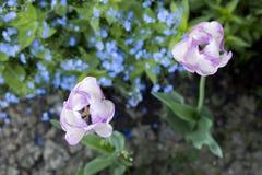 Tulipas brancas e roxas no jardim fotografia de stock royalty free