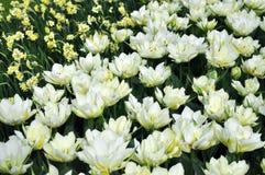 Tulipas brancas, flores amarelas dos narcisos amarelos Imagens de Stock