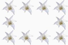 Tulipas brancas no fundo branco na flor completa Fotos de Stock