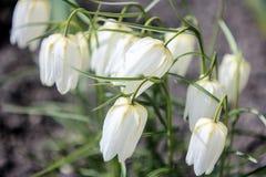 tulipas brancas pequenas Fotografia de Stock