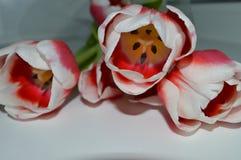 tulipas Branco-cor-de-rosa em uma tabela branca fotos de stock