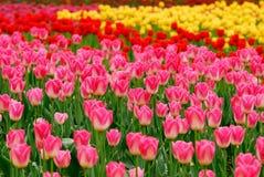 Tulipas coloridas Fotos de Stock