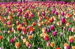 Tulipas coloridas bonitas no jardim netherlands foto de stock royalty free