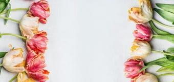 Tulipas coloridas do mit da beira floral da primavera, bandeira floral, vista superior Apenas chovido sobre Foto de Stock Royalty Free