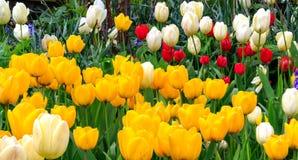 Tulipas coloridas em branco, no vermelho e no amarelo Imagens de Stock Royalty Free