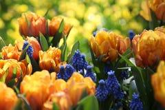 Tulipas coloridas em um canteiro de flores no sol Foto de Stock Royalty Free
