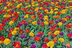 Tulipas coloridos Fotos de Stock Royalty Free