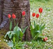 Tulipas consideravelmente vermelhas na base da árvore - cena agradável da mola - imagem fotografia de stock royalty free