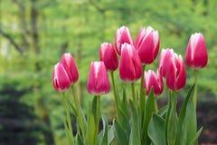 Tulipas cor-de-rosa imagem de stock