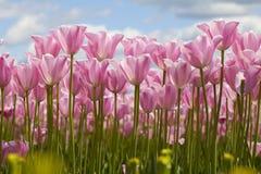Tulipas cor-de-rosa Fotografia de Stock Royalty Free
