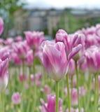 Tulipas cor-de-rosa imagens de stock