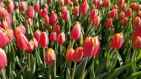 Tulipas cor-de-rosa & amarelas Fotografia de Stock Royalty Free