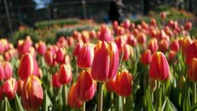Tulipas cor-de-rosa & amarelas Fotos de Stock Royalty Free