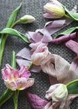 Tulipas cor-de-rosa bonitas com a fita no cinza Fotos de Stock