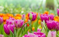Tulipas cor-de-rosa bonitas com fundo da natureza Fotografia de Stock