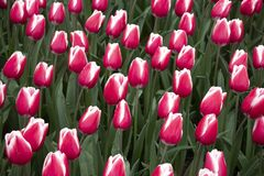 Tulipas cor-de-rosa bonitas e frescas no parque fotografia de stock