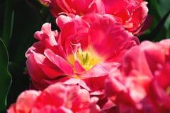 Tulipas cor-de-rosa bonitas em um fundo abstrato de tulipas amarelas fotos de stock royalty free