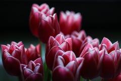 Tulipas cor-de-rosa bonitas em um fundo preto fotografia de stock royalty free