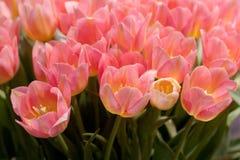 Tulipas cor-de-rosa bonitas foto de stock