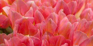 Tulipas cor-de-rosa bonitas fotografia de stock