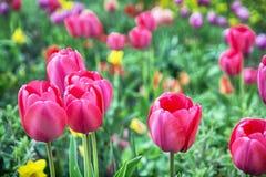 Tulipas cor-de-rosa bonitas no jardim, primavera Fotografia de Stock