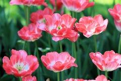 Tulipas cor-de-rosa bonitas que dão nos uma festa da florescência delicada em um dia de mola mágico foto de stock