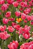 Tulipas cor-de-rosa brilhantes com a uma tulipa amarela Foto de Stock