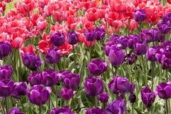 Tulipas cor-de-rosa brilhantes com a uma tulipa amarela Fotografia de Stock Royalty Free