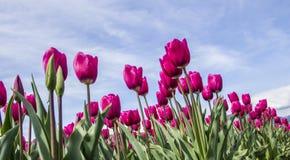 Tulipas cor-de-rosa brilhantes que alcançam ao céu Fotografia de Stock