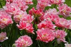 Tulipas cor-de-rosa com pétalas irregulares. Imagens de Stock