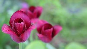 Tulipas cor-de-rosa da flor Foto de Stock