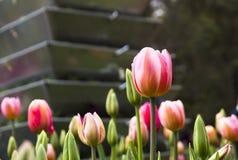 Tulipas cor-de-rosa e brancas, parque botânico de Araluen, Austrália Foto de Stock Royalty Free