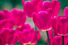 Tulipas cor-de-rosa e violetas Fotografia de Stock Royalty Free