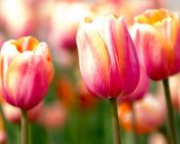 Tulipas cor-de-rosa em Holland Tulip Festival foto de stock