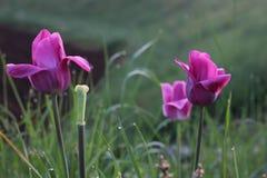 Tulipas cor-de-rosa escuras na grama imagens de stock royalty free