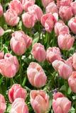 Tulipas cor-de-rosa, fundo imagens de stock royalty free