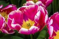 Tulipas cor-de-rosa Keukenhoff Lisse Holland Netherlands da fantasia da peônia Fotos de Stock Royalty Free