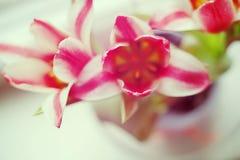 Tulipas cor-de-rosa nas listras brancas com foco macio e borrão liso no fundo, imagem romântica com tonificação fotos de stock royalty free