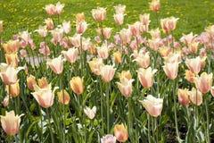 Tulipas cor-de-rosa no canteiro de flores Imagem de Stock
