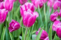 Tulipas cor-de-rosa no jardim foto de stock royalty free