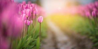 Tulipas cor-de-rosa no jardim com fundo da luz solar Foto de Stock