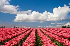 Tulipas cor-de-rosa que florescem em um campo em Mount Vernon, Washington foto de stock